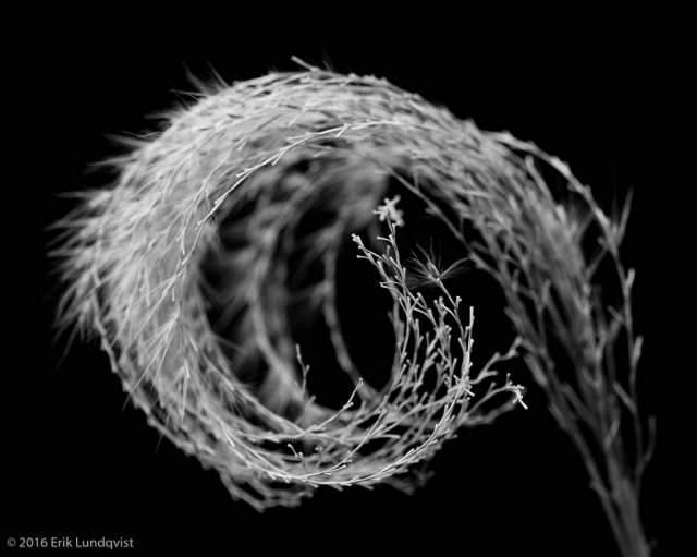 Black and white close up swirly plant.